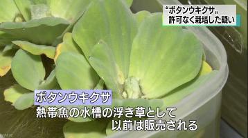 ボタンウキクサ 外来生物 違法栽培